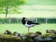 A  Eurasian Oystercatcher (Haematopus Ostralegus) Standing On A Drystone Wall In Wensleydale, North Yorkshire, UK.