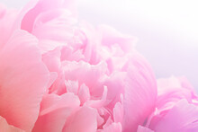 Background Of Pink Peony Flower Petals Close-up