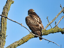 Red Tailed Hawk Perched On Branch: A Young Red-tailed Hawk Bird Of Prey Raptor Is Perched On A Branch Looking Out To Its Side