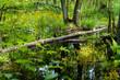 Konar drzewa leżący w leśnym bagnie