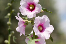 Blossoming Flower Of The Bristly Hollyhock (Alcea Setosa), An Ornamental Plant In The Family Malvaceae, Native To The Levant