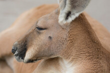 Portrait Of A Red Kangaroo (Osphranter Rufus), The Largest Of All Kangaroos, Resting On Ground