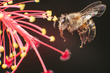 A Closeup Photo Of A Bee With The Flower's Pollen