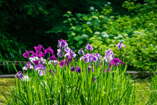 Iris Flowers Shining In The Sun.