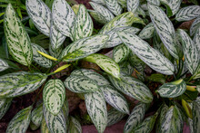 Aglaonema Silver Queen, Green Foliage Closeup, Abstract Background With Large Leaves