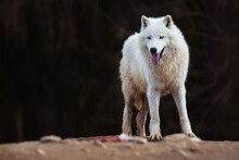 Arctic Wolf In The Forest