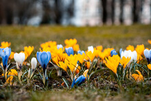 Yellow, Blue And White Bright Flowers On The Spring Lawn