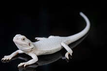 Bearded Dragon On Ground With Black Background