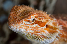Closeup Bearded Dragon On Ground With Blur Background