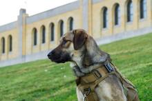 Rescue 1-yea-old Puppy Anatolian Shepherd Mix Dog