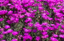 Purple Daisy-like Trailing Ice Plant Delosperma Flowers Ground Cover, Iceplant