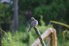 Beautiful Spotted Dove Bird On The Dead Stem Of A Tree In  Nature