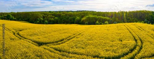 Panoramiczny widok pola rzepaku przy lesie w słoneczny dzień
