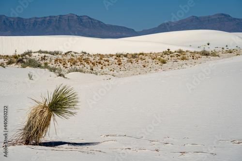 Fotografie, Obraz Windswept soaptree yucca plant in the desert of White Sands National Park in New