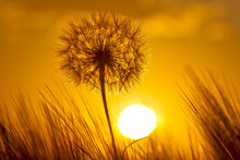 Silhouette Of A Dandelion On The Background Of A Sunny Sunset In A Field Of Grass. Nature And Wildflowers.