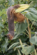 Fox Squirrel Eating Sunflower Seeds While Hanging Upside Down