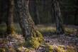 drzewo, w lesie porośnięte mchem