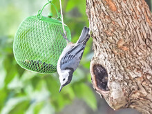 White Breasted Nuthatch Bird On Feeder: A White Breasted Nuthatch Bird Hangs Upside Down On A Feeder Hanging From A Tree