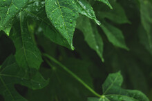 Chaya Spinach Plant With Rain Water Drop. Tree Spinach Or Cnidoscolus Chayamansa Herbal In Nature.
