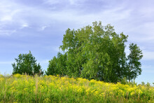 Summer Meadow Under A Blue Cloudy Sky. Bright Yellow Wildflowers Among The Thick Grass, Birch Crowns On The Horizon. Nature Of The Novosibirsk Region, Siberia, Russia