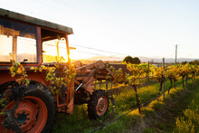 Red Tractor Among Grape Vines On Farm Backlit By Morning Light