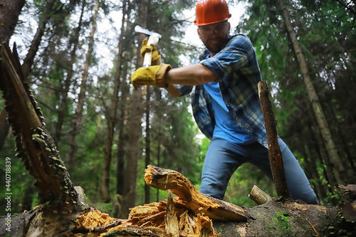 Fototapeta Male worker with an ax chopping a tree in the forest.