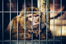 Sad Monkey Behind Bars