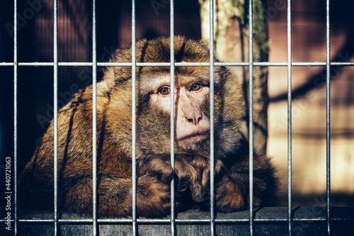 Fotografia Sad monkey behind bars