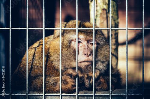 Carta da parati Sad monkey behind bars