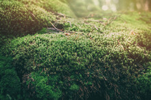 Forest Moss Background. Beautiful Bright Green Moss Grown Up Cover The Rough Stones And On The Floor In The Forest. Rocks Full Of The Moss Texture In Nature For Wallpaper.