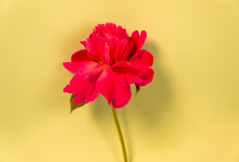 Red Flower On A Yellow Background