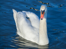 Closeup On A Swan, A Headshot Portrait Of A Black And White Individual With Its Typical Curved Neck And Orange Beak. Swans, Or Cygnus, Are A Typical White Bird From European Rivers....