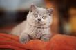 Leinwandbild Motiv Britisch Kurzhaar Katze Kitten hübsch und verschmust