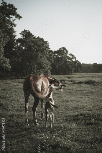 Tela Beautiful view of the brown mare with its foal on the grassy field