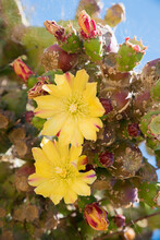 Two Yellow Blossoms Of An Opuntia Phaeacantha Cactus Plant
