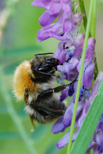 Closeup Of A Brown Hairy Worker Common Carder Bumblebee, Bombus Pascuorum, Sipping Nectar From The Purple Flowers Of Bird's Vetch