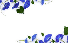 Frame Of Blue Flowers Ipomoea ( Bindweed, Moonflower, Morning Glories ) On A White Background With Space For Text. Top View, Flat Lay
