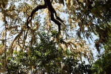 Spanish Moss (Tillandsia Usneoides), An Epiphytic Flowering Plant Growing Upon Larger Southern Live Oak Tree In Tropical Climates. Ravine Gardens State Park, Palatka, Florida. Soft Focus