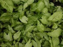 White And Green Leaves Of Arrowhead Plant ,syngonium Podophyllum,nephthytis