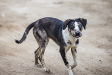Black And White Farm Mixed Breed Large Dog