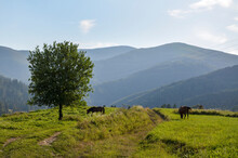 Scenic Landscape View With Mountains Range With Horses Grazing The Green Pastures At Sunset. Carpathians, Ukraine