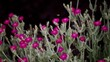 Leinwandbild Motiv Rose Campion Flowers