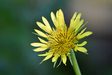 Salsify Flower In The Morning Dew Close-up.