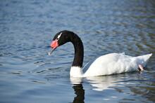 Black-necked Swan (Cygnus Melancoryphus) In A Park In Buenos Aires