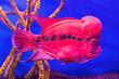 Leinwandbild Motiv Flower Horn fish cichlid. Red fish in the aquarium