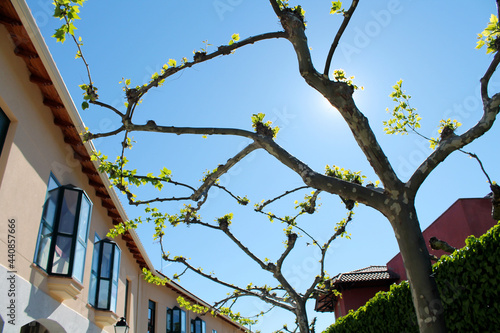 Fototapeta Walkway of pruned tree branches with houses next to it