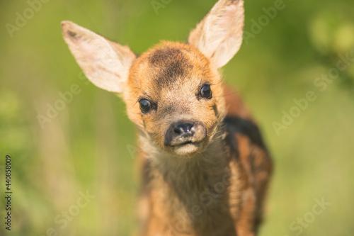 Fotografie, Obraz Closeup roe deer cub portrait