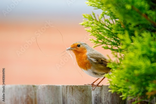 Stampa su Tela Robin redbreast on a fence holding dry grass in his beak for building a nest