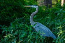 Great Blue Heron Standing In Dense Vegetation