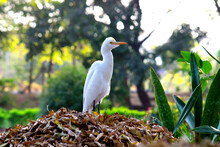 The Cattle Egret Is A Cosmopolitan Species Of Heron Found In The Tropics, Subtropics, And Warm-temperate Zones. It Is The Only Member Of The Monotypic Genus Bubulcus, Although Some Authorities Regard